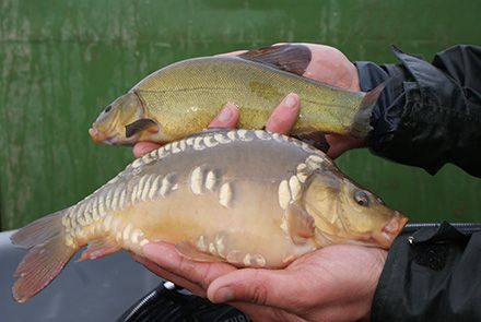 Carp and Tench fish before entering the lake